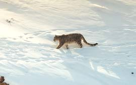 The Snow Leopard Expedition