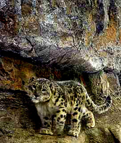 Seek a Snow Leopard